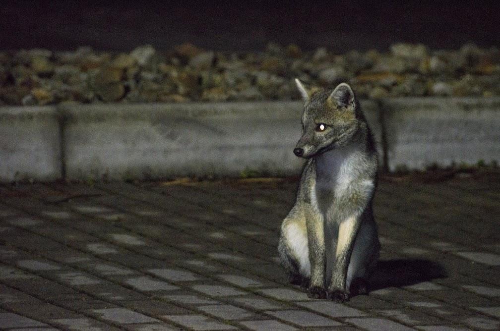 Zorro perro en Bogotá