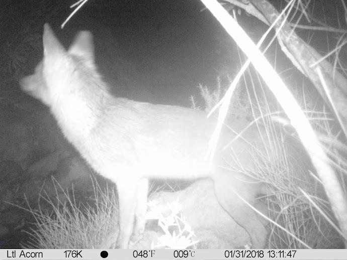 Obviamente cuando este zorro se fotografió no eran las 13:11