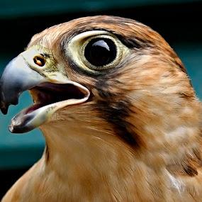 Barbary Falcon by Bob Khan - Animals Birds (  )