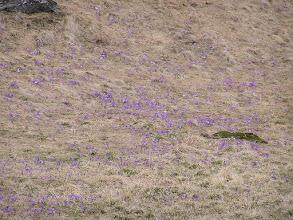 Photo: B3310007 krokusy i nie tylko w Dolinie Chochołowskiej