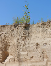 Photo: Loess often stands in either steep or vertical faces. Because the grains are angular, loess will often stand in banks for many years without slumping. This soil has a characteristic called vertical cleavage which makes it easily excavated to form cave dwellings, a popular method of making human habitations in some parts of China. Loess will erode very readily. Here a sunflower hopes it will not erode too readily.