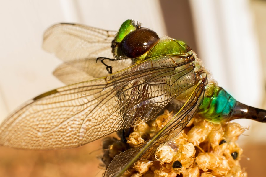 dragonfly by Alisa German - Animals Insects & Spiders ( bug, dragonfly, insect )