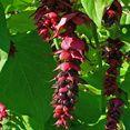 Pheasant Berry