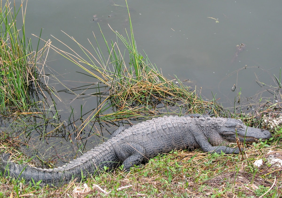 American Alligator, Everglades