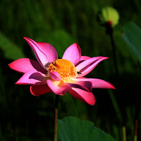 Pink Lotus and its visitor by Lolotan Dalimunthe - Nature Up Close Flowers - 2011-2013 ( bee, pink lotus )