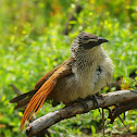 White- browed coucal