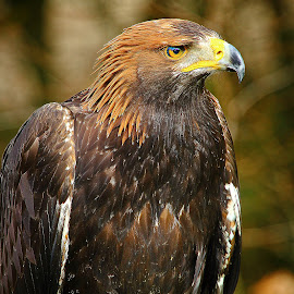 Steppe eagle by Gérard CHATENET - Animals Birds