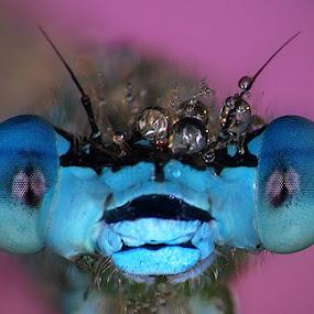 Blue eye`s by Uroš Florjančič - Animals Insects & Spiders