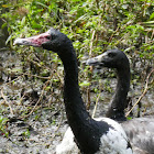Magpie Goose (male and female)