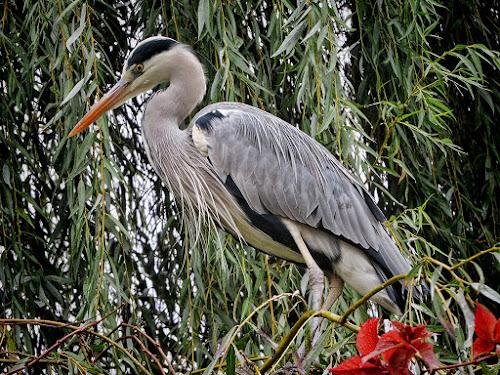 heron by Dunja Kolar - Animals Birds ( maksimir, croatia, zagreb, heron )