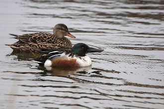 Photo: Gadwall and Shoveler happily married