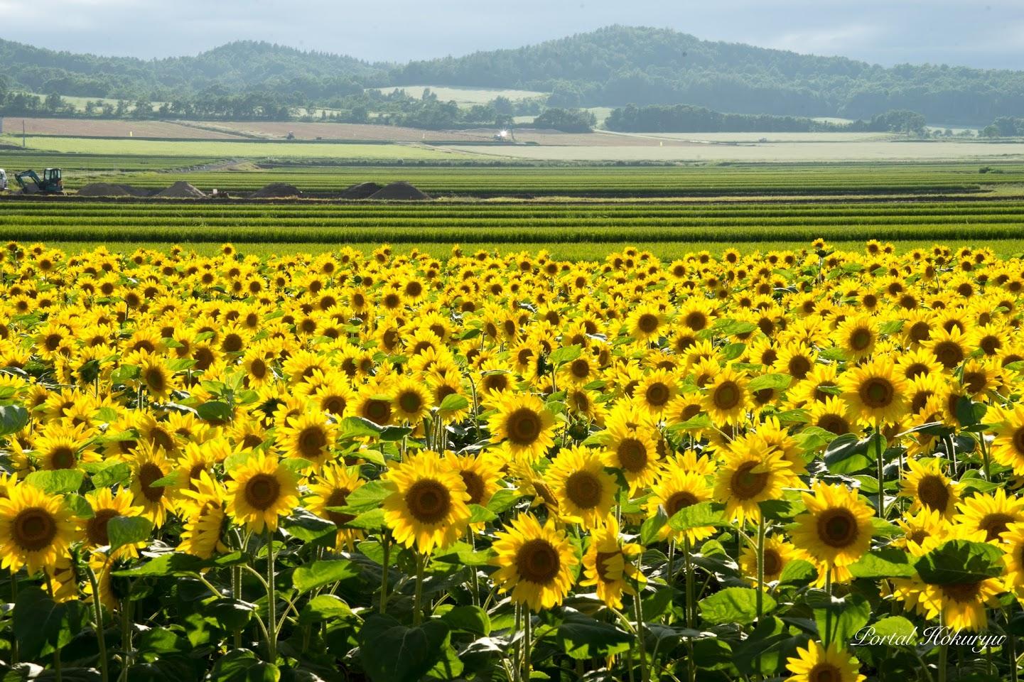 黄色のひまわり、緑の稲、そして白い蕎麦畑と