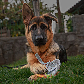 playing with a shoe by Ivan Kovaček - Animals - Dogs Puppies ( german shepherd, puppy, gsd, dog, shoe )