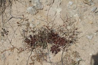 Photo: Flora: Limonium echioides