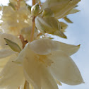 Common Yucca