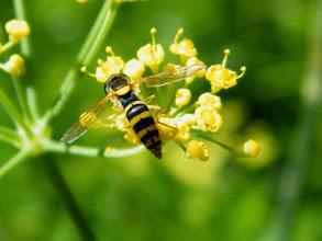 """Photo: Le """"Sphaerophore notée""""- syrphe porte-plume - larve aphidiphage - migrateur. 10 mm - sur fleur d'aneth."""