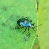 Bordered Plant Bug nymph
