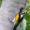 WHITE NAPED WOODPECKER OF SRI LANKA - FEMALE