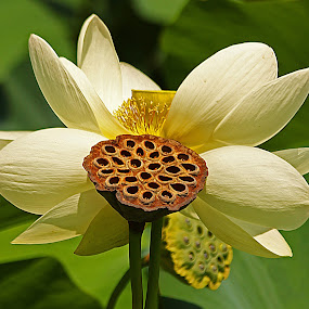 Water Lily by Steve Shelasky - Flowers Flowers in the Wild ( petals, green, water lilly, white, flowers, botanica;, pod,  )