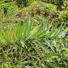 Phoenix loureiroi 刺葵
