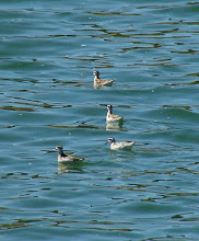 Photo: Red-necked Phalaropes on Sidley Lake