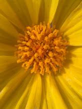 Photo: Desert Gold (Geraea canescens)