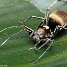 Ant-mimicking Sac Spider