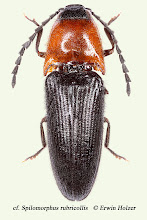 Photo: Spilomorphus rubricollis (cf.), 8,8 mm, Costa Rica, leg. Erwin Holzer
