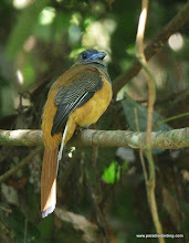 Photo: Female Scarlet-rumped Trogon, Rainforest Discovery Center, Sepilok