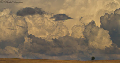 """Photo: """"Overwhelming"""" Cumulonimbus Clouds Highlands Meander, Mpumalanga province, South Africa  It's Tuesday, which means that it's time for African Tuesday again! The theme for today is """"Stormy Skies"""" - so please submit your imagery of the fury of the African stratosphere by: tagging #AfricanTuesday """"Stormy Skies"""" tagging myself and +Johan Swanepoel(the curators) - this makes it easy to pick up on your posts tagging the theme page +African Tuesdayso we can reshare some of the images from the page.  This was an afternoon of threatening storms on the South African Highveld near Dullstroom (a local fly-fishing mecca). I used a telephoto lens to add compression to the distance between the clouds and the tree.  www.morkelerasmus.com  Also a submission for: 1. #treetuesday (+Tree Tuesday) by +Shannon S. Myers& +Christina Lawrie 2. #landscapearttuesday (+LandscapeArtTuesday) by +Christina Deubel 3. #landscapephotography (+Landscape Photography) by +Margaret Tompkins+Ke Zeng+paul t beard+Carra Riley& +David Heath Williams 4. #hqsppromotion (+HQSPPromotion) by +Tammy Boldt+Mukundh B+Marina Versaci+Rinus Bakker+Thierry Raemaekers&+Syuzanna Avetisyan 5. #plusphotoextract  6. #cloudpoker (+CloudPoker) by +Trisha Standard& +Keith Dixon  #clouds  #tree  #landscape  #weather  #storm  #PassionforAfrica  #moody"""
