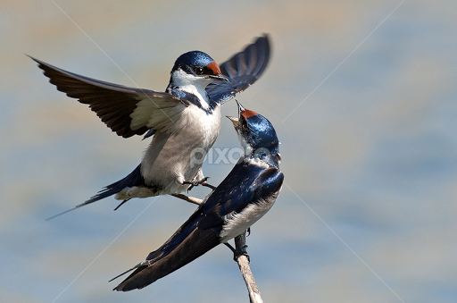 How do birds mate - photo#9