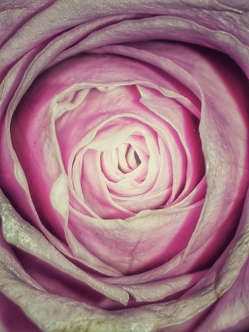 50 sfumature di rosa di gds75photo