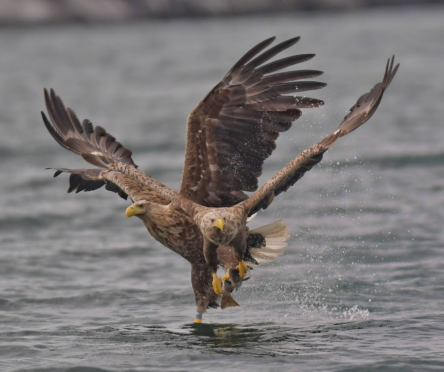 White tailed eagles catch fish by Kjetil Salomonsen - Animals Birds ( hunt, prey, whitetailedeagle, bird, eagle )