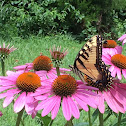 Eastern Tiger Swallowtail Butterfly, make