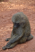 Photo: Shy baboon
