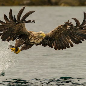 White-tailed eagle by Dennis Hallberg - Animals Birds ( white-tailed eagle, eagle )