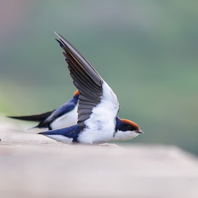 Wire-tailed Swallow by Dr. Mahendra singh Rathore - Animals Birds ( devki nandan, nirmal solanki, kuldeep damor, anil goyal, sharad agrawal )