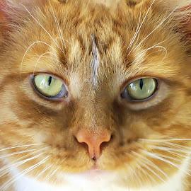 Argy by Tina Dare - Animals - Cats Portraits ( up close, face, orange, macro, cat, nature, close up, eyes )