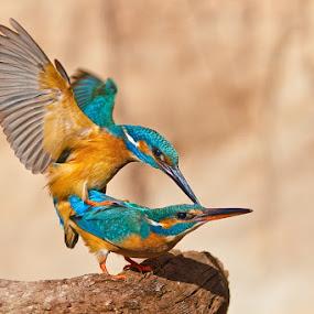 sex by Evžen Takač - Animals Birds ( living nature, sex, kingfisher, czech republic, mating, birds )