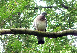 Photo: Wood Pigeon in Northcliffe Wood Shipley