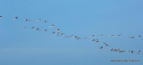 Photo: Eurasian Flamingo (Fenicottero) on the wing near Vendicari Wetlands