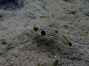 Photo: Arothron manilensis (Striped Puffer), Chindonan Island, Palawan, Philippines.