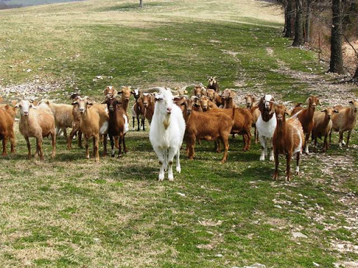Scab goats take jobs from Michigan unionized workers