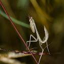 Giant Indian Praying mantis