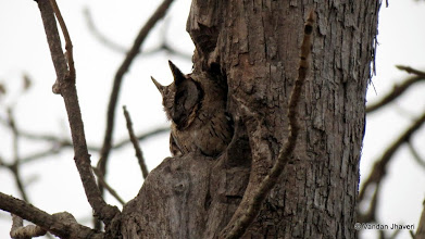 Photo: Collared Scops Owl