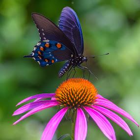 Butterlfy Garden by Deborah Lucia - Flowers Single Flower ( orange, green, blue, butterfly, purple, colorful, flower,  )