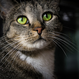 Miley by Chrysta Rae - Animals - Cats Portraits ( cats, cat, pet, cat portrait, whiskers, green eyes, feline, kitty, animal,  )