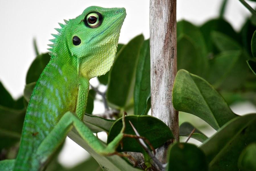 I am Chameleon by Muhammad Zulfadli Bin Ramli - Animals Reptiles ( reptiles, lizard, iguana, green chameleon, chameleon )