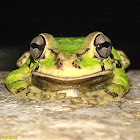 Poss. Baudin's Tree Frog