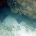 Tiburón nodriza (Nurse shark)